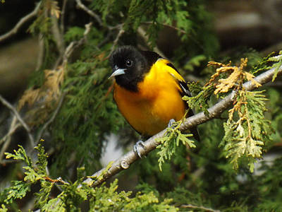 Baltimore Oriole Surprise Poster by Brenda Brown