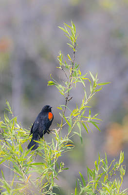 Bamboo And Bird Poster