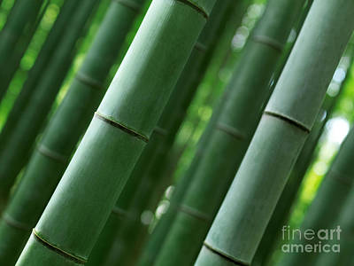 Bamboo Forest Closeup Of Stems Poster