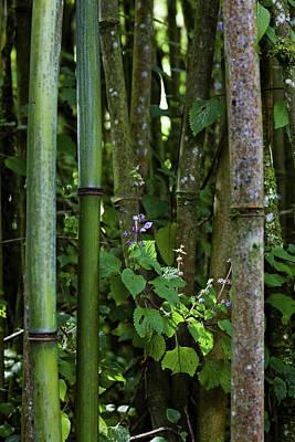 Bamboo Forest, Ruwenzori, Uganda Poster by Martin Zwick