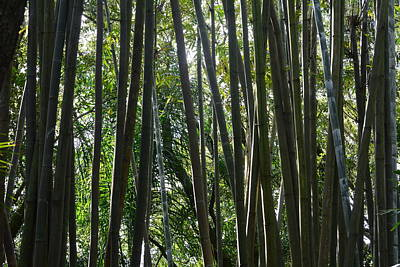 Bamboo  Poster by Nicholas Outar