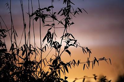 Bamboo Stems At Sunset Poster by Ian Gowland