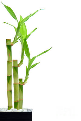 Bamboo Stems In Black Vase Poster by Olivier Le Queinec