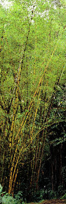 Bamboo Trees In A Forest, Akaka Falls Poster