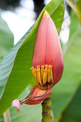 Poster featuring the photograph Banana Flower Closeup by Dan McManus