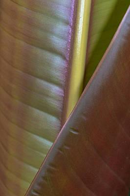 Banana Leaf, Sarapiqui, Costa Rica Poster by Panoramic Images