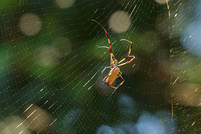 Banana Spider In Web Poster