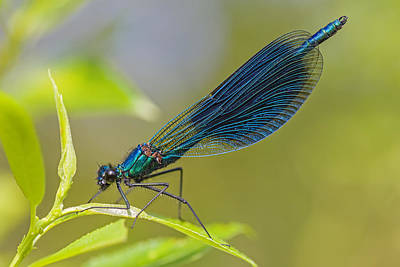 Banded Demoiselle Damselfy Male Poster