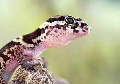 Banded Gecko Poster by Nicolas Reusens
