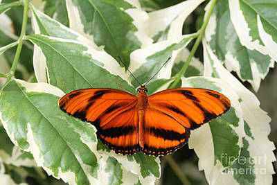 Banded Orange Longwing Butterfly Poster by Judy Whitton