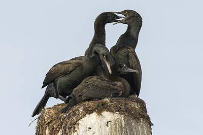 Bank Cormorants Feeding Their Chicks Poster by Science Photo Library