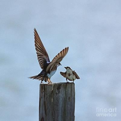 Bank Swallow Romance Poster by John Harmon
