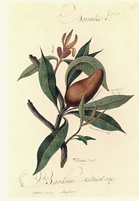 Banksia Flower, 18th Century Poster