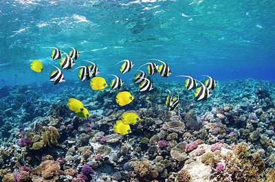 Bannerfish And Butterflyfish On A Reef Poster by Georgette Douwma