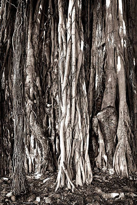 Banyan Tree Poster by James David Phenicie