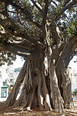Banyan Trees In Velez Malaga's Parque De Andalucia Poster by Rod Jones