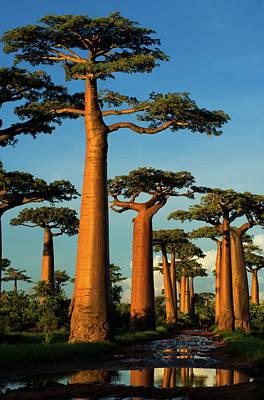 Baobab (adansonia Grandidieri Poster by Andres Morya Hinojosa