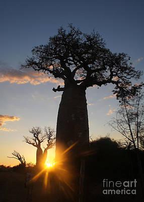baobab from Madagascar 6 Poster