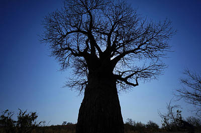 Baobab In The Okavango Delta Botswana Poster by Hiroya Minakuchi