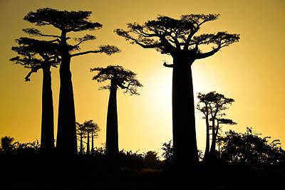 Baobab Silhouette Poster by Michele Burgess