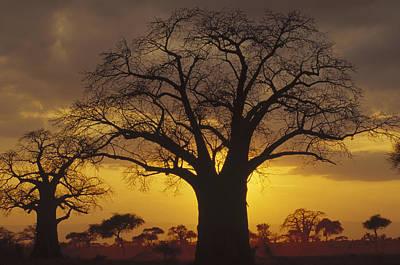 Baobab Tree At Sunset Tanzania Poster by Gerry Ellis