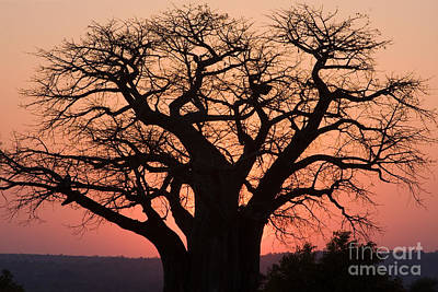 Poster featuring the photograph Baobab Tree Sunset by Chris Scroggins