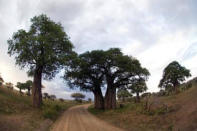 Baobab Trees Adansonia Digitata Poster by Panoramic Images