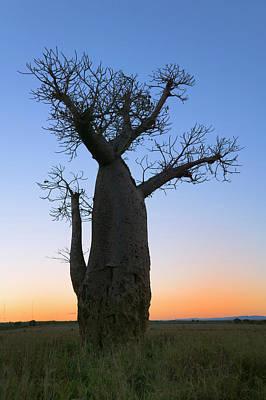 Baobab Trees (adansonia Poster