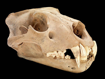 Barbary Lion Skull Poster by Natural History Museum, London