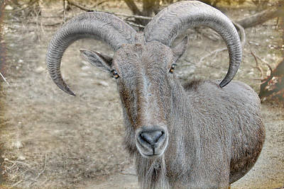 Poster featuring the photograph Barbary Sheep by Dyle   Warren
