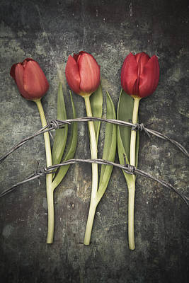 Barbed Wire And Tulip Poster by Maria Heyens