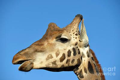 Baringo Giraffe Poster