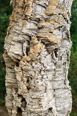 Bark Of Cork Oak (quercus Suber) Poster