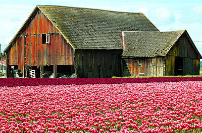 Barn And Tulips Poster by Annie Pflueger