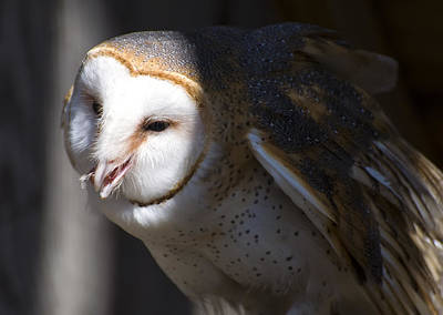 Barn Owl 1 Poster by Chris Flees