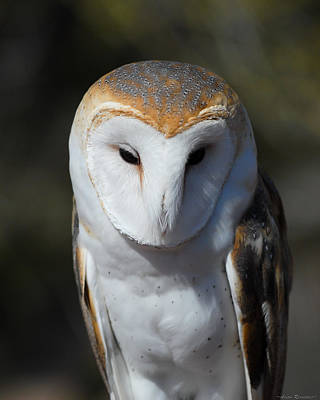 Poster featuring the photograph Barn Owl by Avian Resources