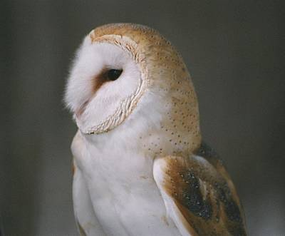 Barn Owl Poster by David Porteus