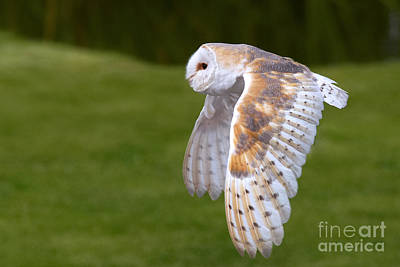 Poster featuring the photograph Barn Owl In Flight by Nick  Biemans