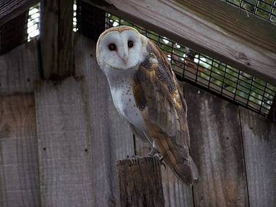 Poster featuring the photograph Barn Owl by Michele Kaiser
