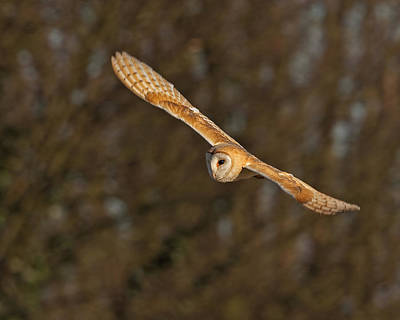 Poster featuring the photograph Barn Owl   by Paul Scoullar