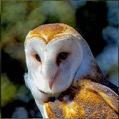 Poster featuring the photograph Barn Owl Portrait by Constantine Gregory
