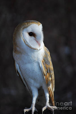 Barn Owl Poster by Sharon Elliott