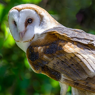 Poster featuring the photograph Barn Owl by Yeates Photography