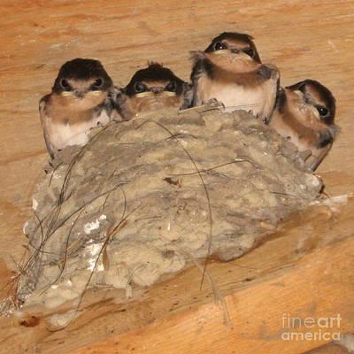Barn Swallow Chicks 2 Poster