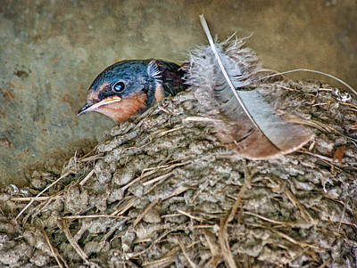 Barn Swallow Fledgling - Baby Bird In Nest Poster