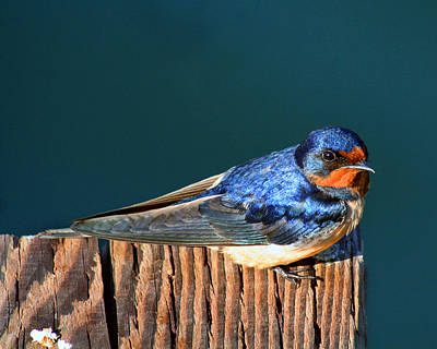 Poster featuring the photograph Barn Swallow Perching by Bob and Jan Shriner