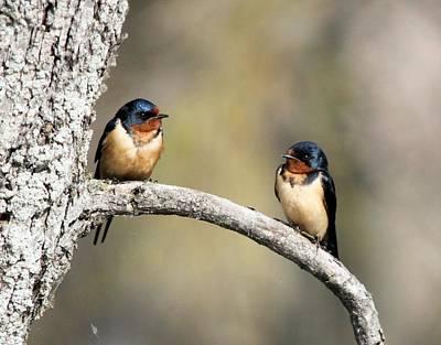 Barn Swallows Poster