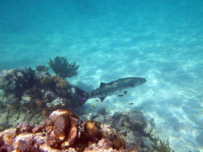 Poster featuring the photograph Barracuda by Eti Reid