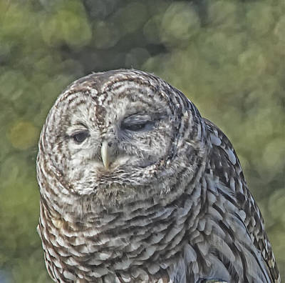 Poster featuring the photograph Barred Hoot Owl Photo Art by Constantine Gregory