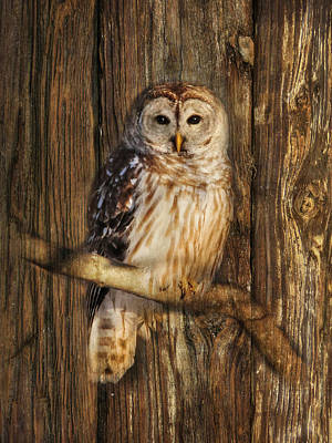 Barred Owl 1 Poster